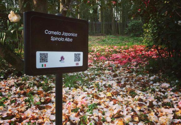 Camelie-Villa-Reale --Japonica