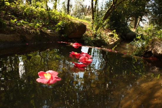 fiori di camelia nel lago - Villa Marlia