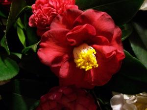 camellia villa reale di marlia