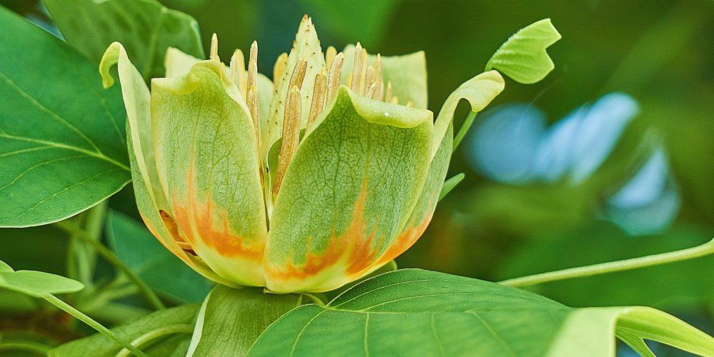 Albero dei Tulipani liriodendron tulipifera percorso olfattivo di Villa Reale di Marlia