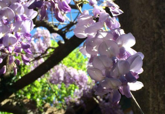 Glicine percorso olfattivo di Villa Reale di Marlia