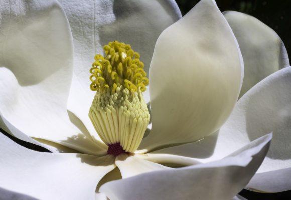 Magnolia percorso olfattivo di Villa Reale di Marlia