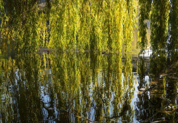Salice Piangente percorso olfattivo di Villa Reale di Marlia